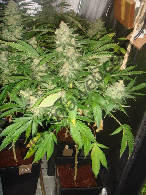 Como cultivar marihuana en coco