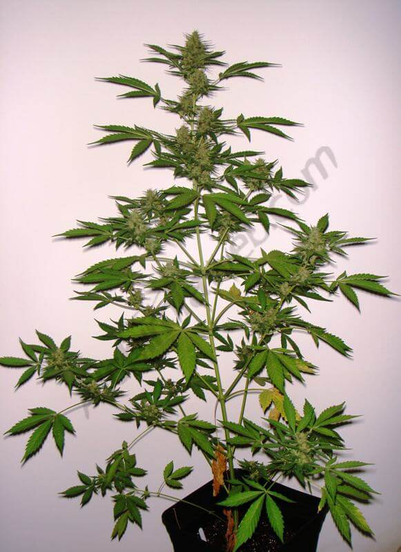 4 semana floración planta D