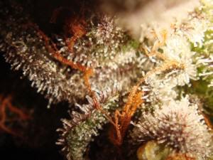 Tricomas marihuana Flo por acabar de madurar antes de la cosecha