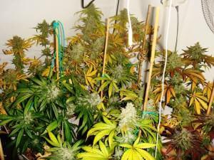 Seleccionando marihuana regular