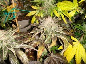 Marihuana Flo (puple)