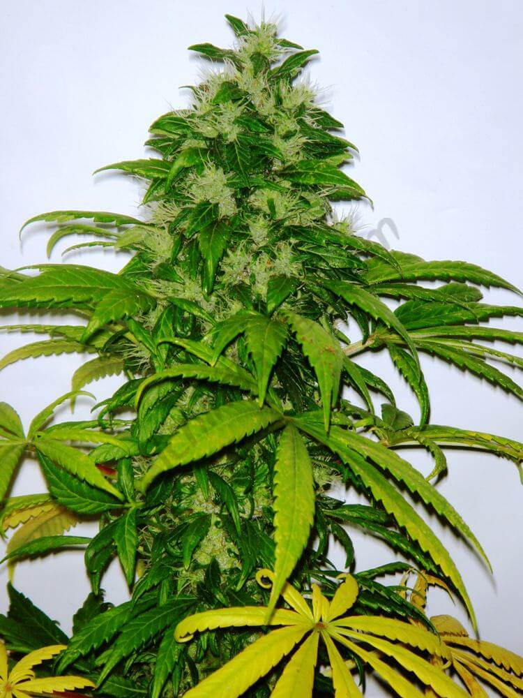 Cannabis Critichem