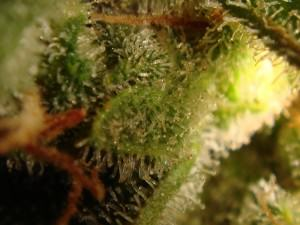 tricomas ambarinos (11)