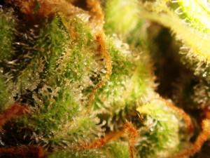 tricomas ambarinos (12)