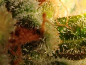 tricomas ambarinos (15)