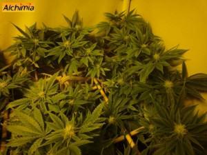 Cultiu SCROG de marihuana