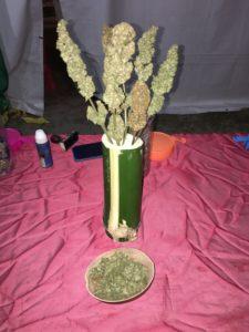 Una de plantes de cànnabis del concurs