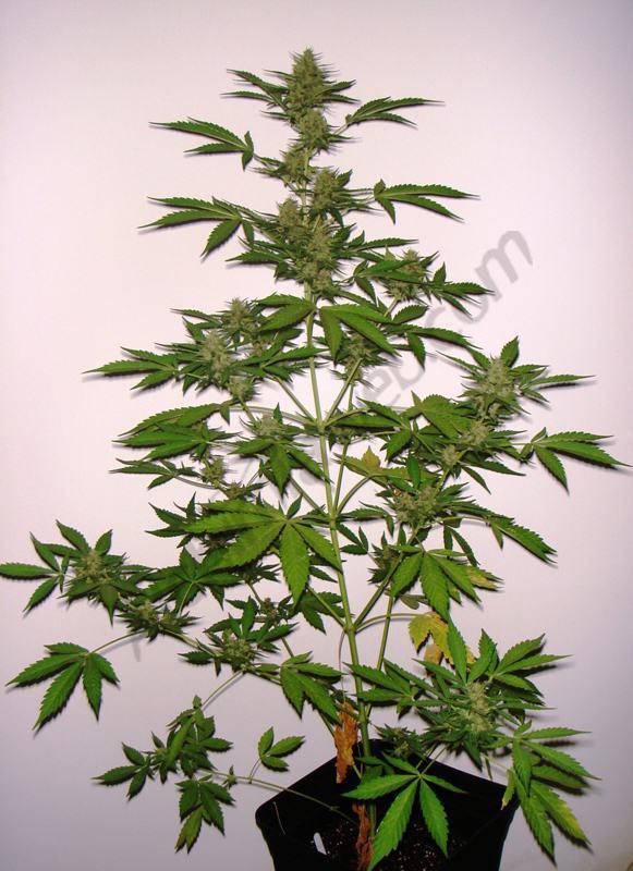 Week 4 into flowering plant D
