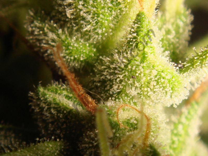 Detail of trichomes last week plant C