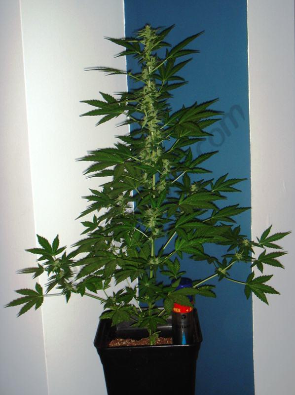 Week 2 into flowering plant C