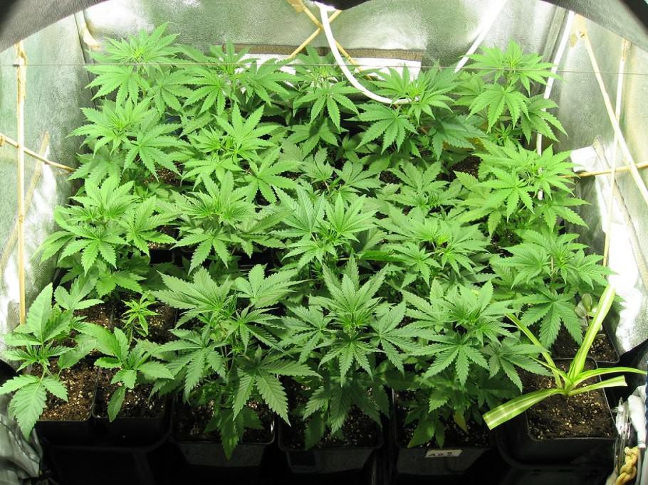 Growing marijuana in plant pots