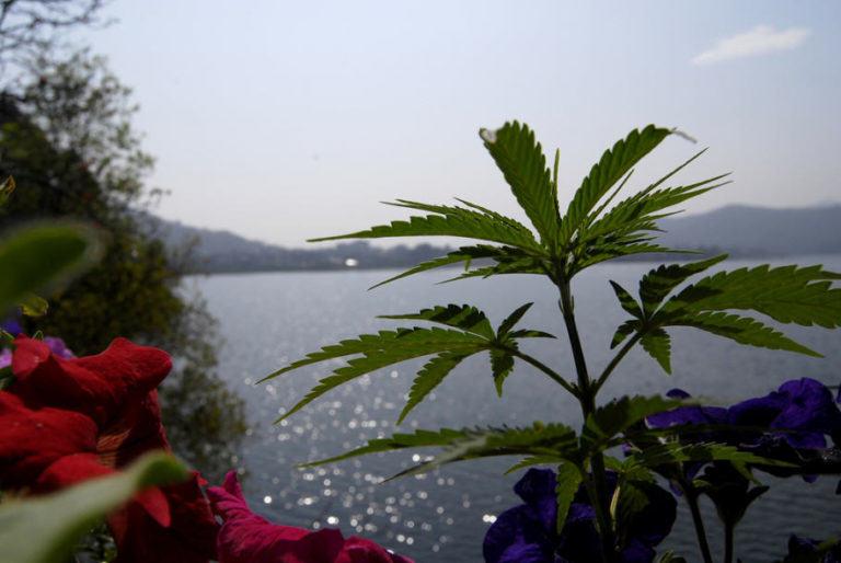 Origins of cannabis cultivation