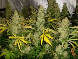 Growing marijuana with Metrop nutrients