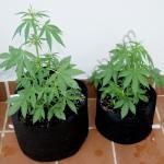 Flash Babylon in Smart Pot 18L and 11L