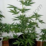 Flash Babylon Smart Pot 18L 3. week of flowering