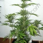 Flash Babylon Smart Pot 18L