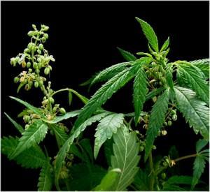 Distinguer la marijuana mâle et marijuana femelle