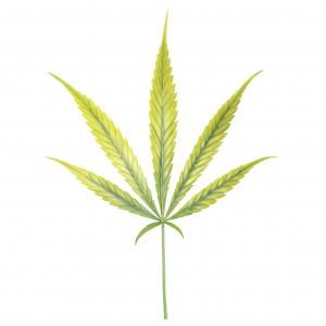 Carence et excès de Fer chez le cannabis