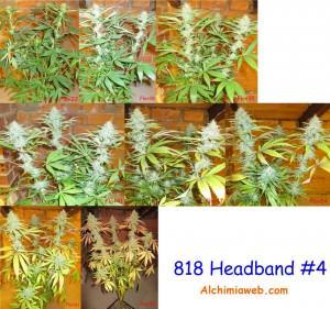 818 Headband #4