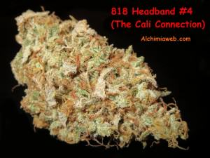Bud de 818 Headband #4