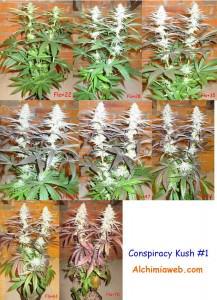 Conspiracy  Kush #1