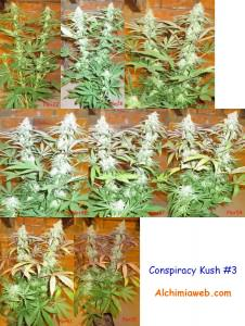 Conspiracy  Kush #3