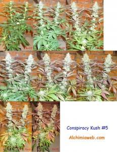 Conspiracy  Kush #5