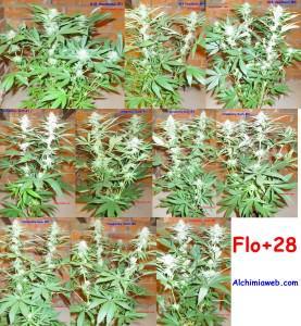 28 jours de floraison