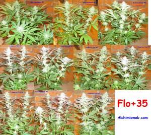 35 jours de floraison