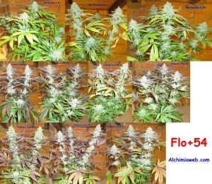 54 jours de floraison