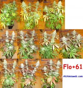 61 jours de floraison