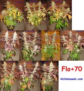 70 jours de floraison, récolte!