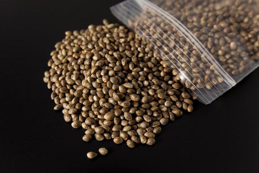 Semillas de cannabis listas para germinar
