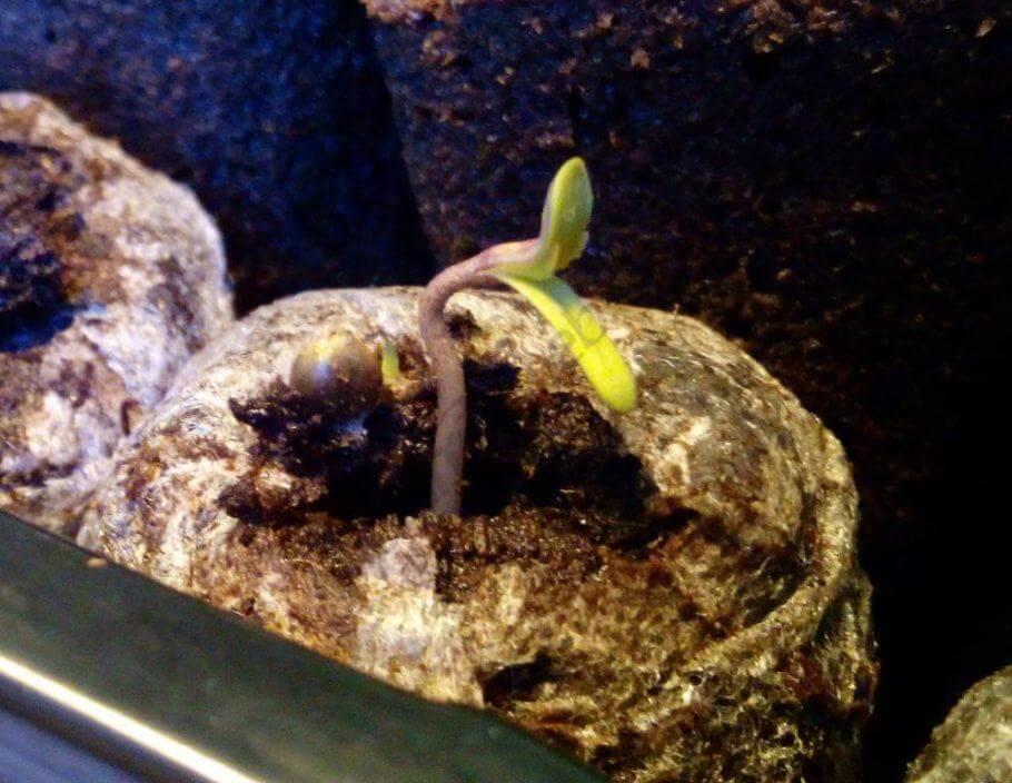 Las semillas nacieron sin problema en nuestros jiffy
