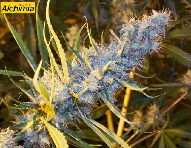 Características de las variedades de marihuana sativa