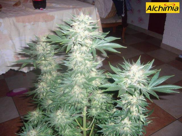 Características de las variedades de marihuana sativa - Blog del ...