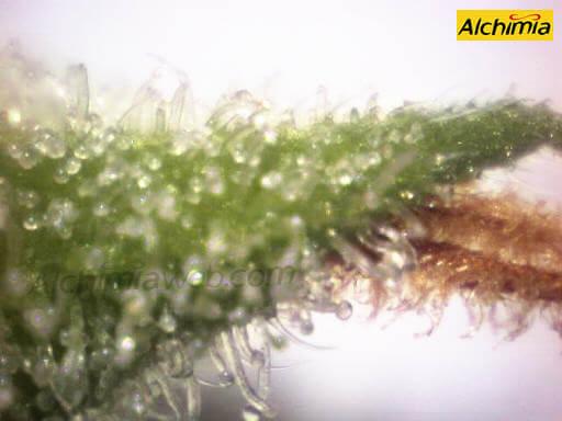Cuando cortar las plantas de marihuana?