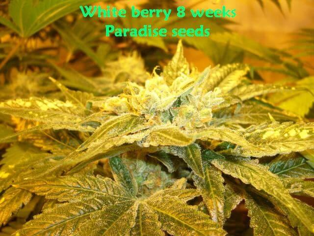 Marihuana de Paradise Seeds