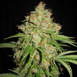 Nuevas variedades de marihuana autofloreciente
