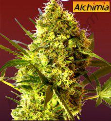Big Devil, novedad autofloreciente de Sweet Seeds