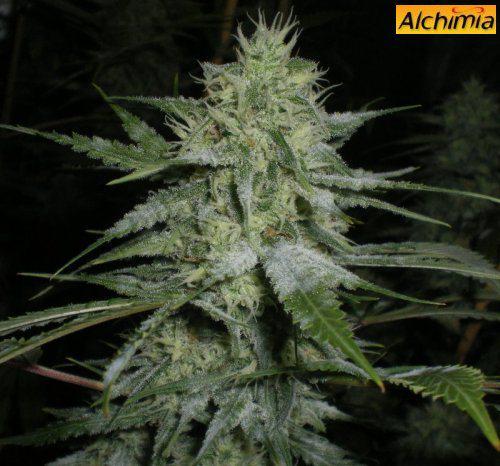 Hongos oidio en la planta de marihuana