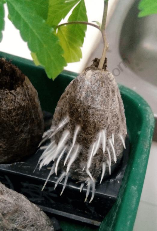 En unos días los esquejes producirán raíces