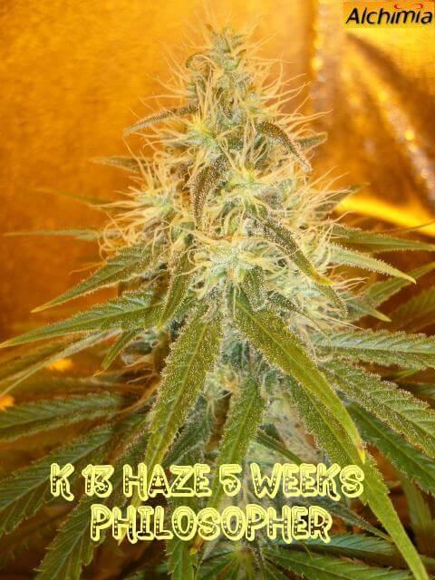 K13 haze 5 semanas de floración