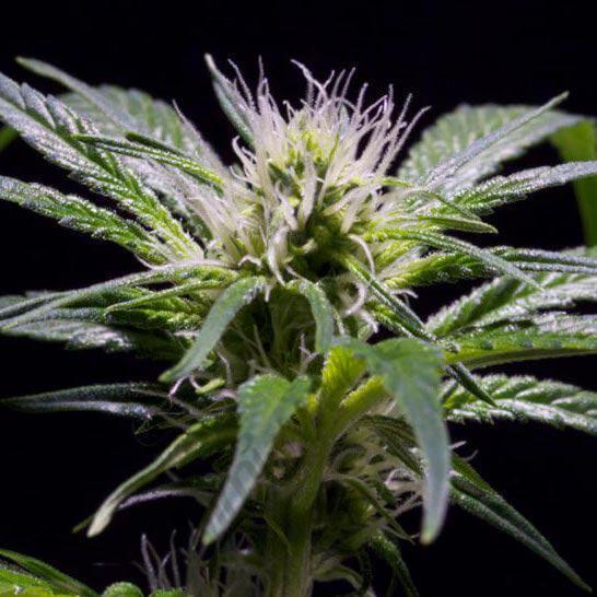 Damn Sour de Greenhouse Seeds