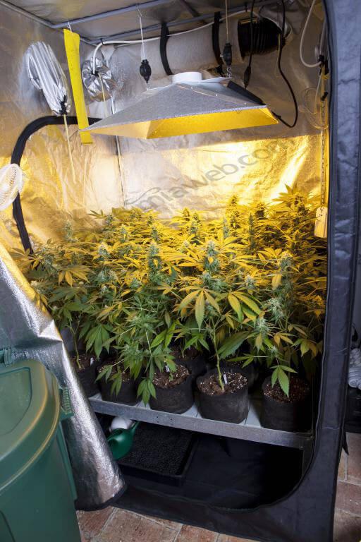 Plantas de cannabis en plena floración