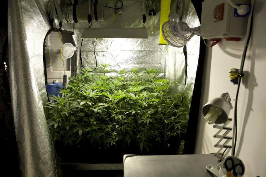 Plantas de cannabis creciendo en un armario de cultivo