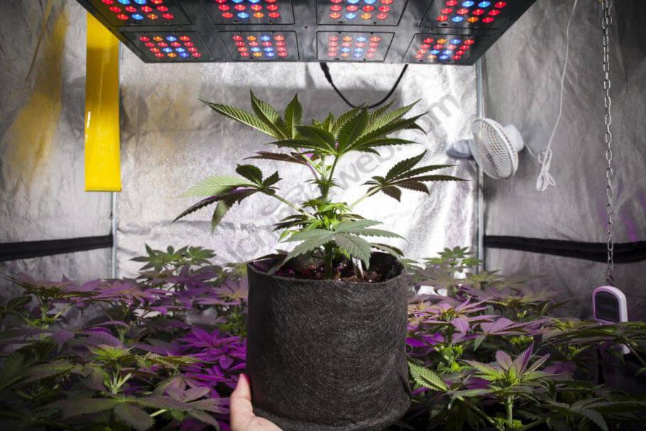 El cannabis crece muy bien con paneles LED