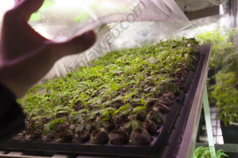 Clones de plantas madre enraizando