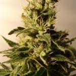 Maneras de consumir marihuana