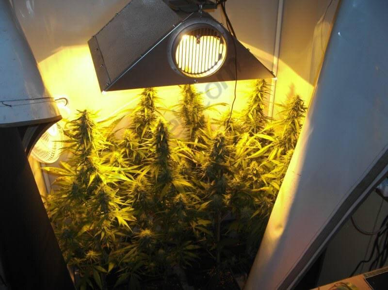 Comment cultiver du cannabis en espaces réduits